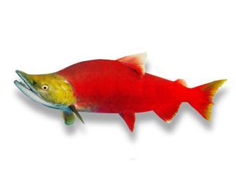 紅鮭 (ベニザケ) / お魚図鑑 - ...